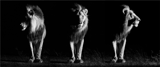 shaun-walton-fine-art-wildlife-photography-male-lion-triptych
